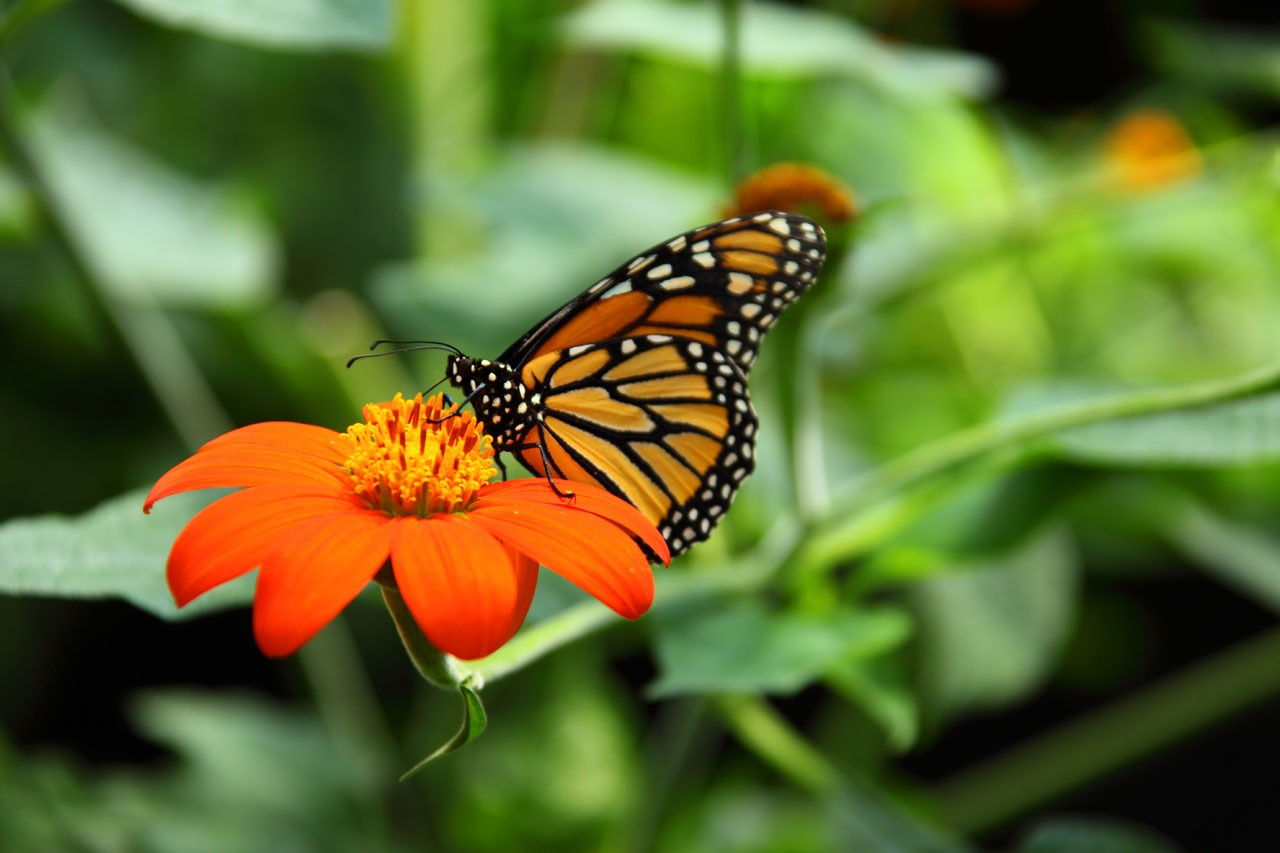 animal-beautiful-monarch-butterfly-86701